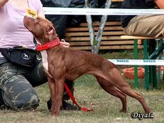 ADBA standard American Pit Bull Terrier