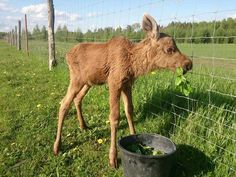 Guy Rescues Baby Moose, And Now She Visits Him Every Day  Read More: http://www.trueactivist.com/guy-rescues-baby-moose-and-now-she-visits-him-every-day/