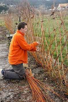 This French gardener is inserting dormant willow whips into the ground and weaving the tops into a lattice. They will root come spring and this will become a free living fence