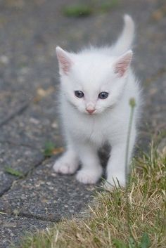 (KO) This kitten just realized that she is all alone in the great big world. She will panic and start shrieking her little head off. Mama will quickly run to rescue her. Mama will gently bite the back of her neck and carry her home. Lunchtime!