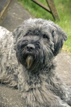 bouvier des flandres - we call her mountain