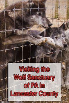 The Wolf Sanctuary of PA is a great destination in Lancaster County, Pennsylvania. Here you can see wolves up close and learn about the importance of preserving the species: http://uncoveringpa.com/tour-wolf-sanctuary-of-pa
