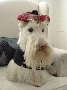 Wheaten Scottish Terrier Wearing Plaid