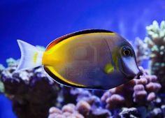 Japonicus salt water fish in aquarium Stock Photo - 13106763