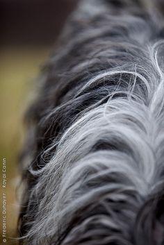 Dutch Sheepdog.