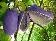 Akebia quinata  http://www.eattheweeds.com/chocolate-vine-akebi/