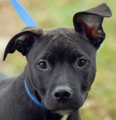 How can you resist those ears? Marino is a 4 month old doggie who is currently looking for his new home. You can meet him at the New Haven Animal Shelter!