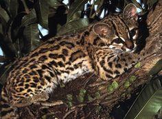 margay tiger cat <3