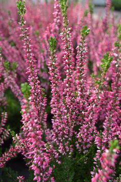 Athene Heather (Calluna vulgaris 'Athene') blooms in the fall with red/pink buds from September to December. Great for adding fall color in the planter box. tall x wide. Pink And Purple Flowers, Colorful Flowers, Fast Growing Shrubs, Flowering Shrubs, Fall Flowers, Planter Boxes, Plant Care, Perennials, Planting Flowers