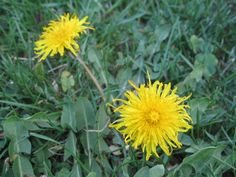 Wait! Don't spray or mow those dandelions -- harvest them. Use nutrient-rich leaves in salads; Instructables shares how to make the blossoms into jelly that tastes like honey.