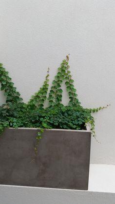 Virginia creeper (Parthenocissus tricuspidata) ready to turn these white walls green.