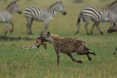 Hyena Myths Busted: Are They Really Hermaphrodites? » Focusing on Wildlife