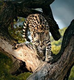 Ocelot, photo by Dani Garcia Sarabia - Pixdaus Animals And Pets, Funny Animals, Cute Animals, Animal Funnies, Wild Animals, Small Wild Cats, Big Cats, Beautiful Cats, Animals Beautiful