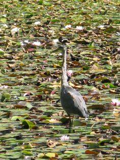 Heron Heron, Canada, Bird, Flower, Animals, Animales, Animaux, Herons, Birds