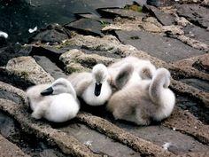 baby swans having a nap - cutestpaw.com