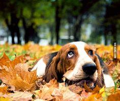 Just a Cute Basset Hound