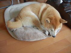 柴犬, Shiba Inu, LOVE old dogs, so precious <3 ~lisa