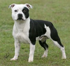 Fabulous So You Want A American Pit Bull Terrier Ideas - Bull Terriers Black And Tan Staffordshire Bull Terrier Pitbull Terrier, Amstaff Terrier, Staffordshire Bull Terriers, American Staffordshire, Pet Dogs, Dogs And Puppies, Dog Cat, Doggies, Corgi Puppies