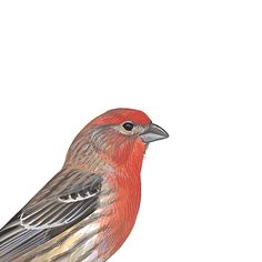 House Finch, male. Painted and © David Sibley