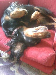 """""""Of course I don't look stupid. I'm an intelligent Gordon Setter who sleeps upside down with my tongue sticking out. It's the latest stress-beating craze - you should try it..."""""""
