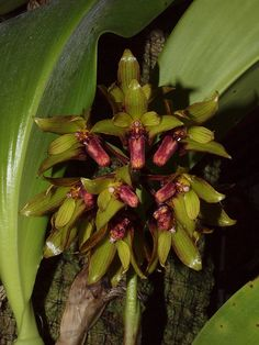 Bulbophyllum foetidum 'Fetid Flycatcher' CBR/AOS, by cgaxquai, via Flickr