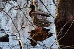 Mallard Ducks by Claude Charbonneau on Mallard, Ducks, Animals, Animales, Animaux, Animal, Animais