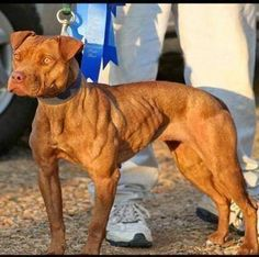 Pitbull-Terriers