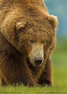 Big, Bold and Beautiful ...Grizzly bear....by Henrik Nilsson