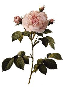 Redoutes rose paintings are still stunning. Print for the home on a rough paper. Glue it to a dark linen canvas. Varnish it and you´ll have a great picture for the home