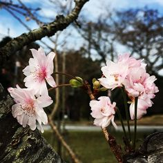 【_shi_ge_ki_】さんのInstagramをピンしています。 《🌸十月桜🌸 ・ 昨日の続きの続き ・ 大室山の麓 桜の里に唯一少し咲いていた十月桜 頑張ってるので普通に載せてみました🌸 ・ #十月桜 #桜 #さくら #冬桜 #伊東  #伊東市 #大室山 #桜の里 #伊豆高原 #ピンクの花 #pinkflowers  #pinkflower #cherryblossom  #paixoesporflores #rainbow_petals_  #rainbow_petals  #wp_japan #wp_flower  #kings_flora #kings_flowers  #ip_connect #ip_blossoms  #top_favourite_flowers  #flower_daily #great_flowers #whim_fluffy #bomdever_flower #icu_japan #total_flowers#icp_official》