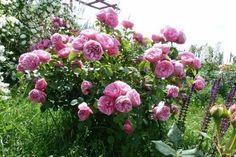Как распознать побег шиповника у розы