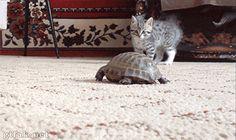 turtle vs kitty fight  more funny catsmore cute funnycrazy $hit failsmore Amazing gifs, go here