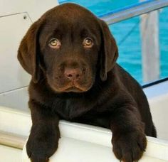 Labrador Retriever Pup ~ Classic Look  ...this puppy looks just like Molly the day I brought her home!! ♥♥♥...