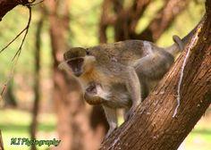 The green monkey Monkey, Wildlife, Green, Jumpsuit, Monkeys, At Sign