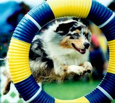Saw my first dog agility event at the AKC/Eukanuba National Championship.  Loved it!  Pretty sure this one is an Australian Shepherd.