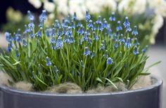 Perleblomst, Muscari. Nydelige løkplanter du kan ha i krukke innendørs - for så å plante dem ut i hagen når frosten går.