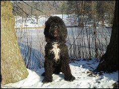 Barbet o perro de aguas francés