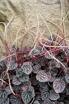 RHS Plant Selector Peperomia caperata 'Luna Red' AGM / RHS Gardening