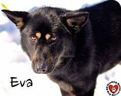 Joliet, IL - German Shepherd Dog. Meet Eva, a dog for adoption. http://www.adoptapet.com/pet/12548861-joliet-illinois-german-shepherd-dog