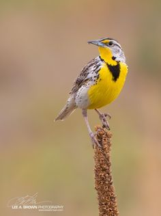 Western Meadowlark Comes To Life With Exposure Compensation