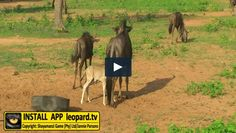 Here is a video of the little ones of Shayamanzi! Watch more videos on the Leopard. Tv App, Tv Videos, Wildlife, Horses, Watch, Animals, Clock, Animales, Animaux