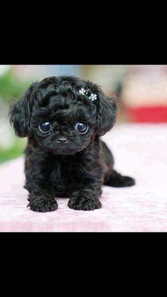 Black shih poo puppy