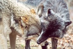 Affection by guidoneko on DeviantArt Wolf Photography, Howl At The Moon, Beautiful Wolves, Nature Aesthetic, Big Love, Beautiful Children, Husky, Deviantart, Drawings