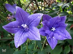 Balloon Flowers, weathered and eaten