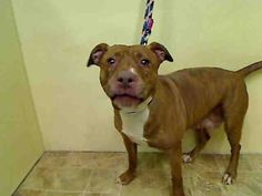 Manhattan Center   BROWNIE - A1031380   FEMALE, BROWN / WHITE, PIT BULL MIX, 6 yrs STRAY - ONHOLDHERE, HOLD FOR EVICTION Reason OWN EVICT  Intake condition UNSPECIFIE Intake Date 03/26/2015, From NY 10458, DueOut Date , I came in with Group/Litter #K15-008061.