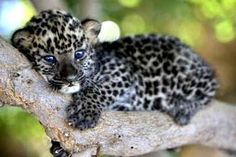 leopard cub - Baby Animals Photo (19832556) - Fanpop