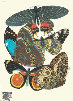 PL. 2 - Image Title  :  1. Armandia lidderdali, Sikkim; 2. Catasticta teutila, Mexique; 3. Morpho achillaena, Bresil; 4. Delias castaneus, Nouvelle Guinee; 5. Dasyophtalma creusa, Bresil       Creator  : Séguy, E. A. -- Artist