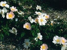 Jardin des rosiers Shrub Roses, Shrubs, Plants, Gardens, Rose Trees, Shrub, Plant, Planets