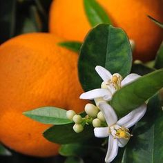 Before the fruit, is the flower. The Florida icon, the orange blossom. Grew orange and grapefruit trees at two different homes in Florida. Fruit Diet, New Fruit, Fruit Salad, Fruit Drinks, Best Fruits, Fruit Garden, Gras, Orange Blossom, Fruit Trees
