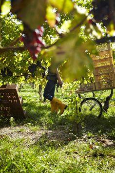 Allegrini, Fumane, Veneto Italy, Valpolicella pickers walking in the vineyard.